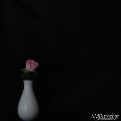 2018_DP_Week11_C_NegSpace WhiteVase c (SMD Photos) Tags: dogwood2018 dogwoodweek11 white vase rose black negativespace