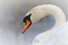 White beauty (fire111) Tags: white beauty swan zwaan knobbelzwaan bird wild wildlife birding