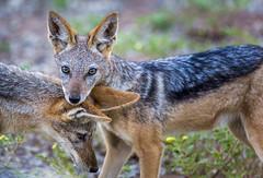 """That """"hang dog"""" look (Sheldrickfalls) Tags: blackbackedjackal jackal jackals makulekeconcession makuleke krugernationalpark kruger krugerpark limpopo southafrica baobabhillbushhouse returnafrica"""