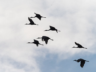 IMGPJ31891_Fk - Jackson County Indiana - Migratory Birds - Ewing Bottoms - Sandhill Cranes