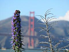 purple/Golden Gate Bridge (kenjet) Tags: flora blume blumen flower flowers pretty color colorful beautiful sanfrancisco view bridge orange purple goldengate goldengatebridge