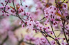Spring cherry blossoms (s.d.sea) Tags: spring cherry blossoms flowers flower floral pink sunshine sun blue sky tree trees branches bloom blossom grow nature plant plants pnw pacificnorthwest washington washingtonstate seattle eastside issaquah pentax k5iis soft focus