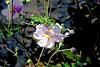 Autumn Flowers- Look at Me me me (maginoz1) Tags: flowers rose geranium abstract art manipulation curves autumn march 2018 bulla melbourne victoria australia canon g3x d100