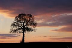 Le solitaire (martine_ferron) Tags: arbre nuage coucherdesoleil ciel silhouette