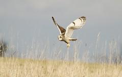 Short-eared Owl (Alan McCluskie) Tags: owl shortearedowl seo birdofprey bif birdinflight bop grass birds avian aves oiseau canon7dmk2 sigma150600mmsp nature wildlife animal hiboudesmarais asioflammeus