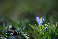 untitled . (helmet13) Tags: d800e raw flora springtime crocus selectivefocus bokeh simplicity greenmeadow macro aoi peaceaward world100f