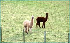 Alpacas seen near to Mayburgh Henge, Penrith. (Ann1635) Tags: cumbria penrith