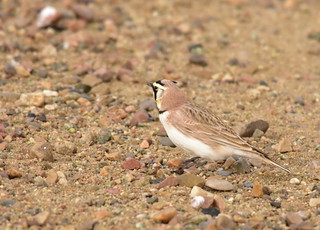Horned lark on Seedskadee National Wildlife Refuge