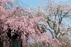 Pink and White (Teruhide Tomori) Tags: kyoto japon japan bloom spring sakura cherry tree garden tradition pink temple myomanjitemple iwakura rakuhoku sky blossom 枝垂桜 桜 洛北 妙満寺 京都 春 日本 庭園