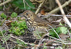 Song Thrush (Eleanor (No multiple invites please)) Tags: thrush undergrowth canonspark stanmore uk nikond7200 march2018 coth5