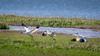 Whooping Cranes (Mike L Washington) Tags: cranes whooping bird endan whoopingcrane aransaswildliferefuge padreisland