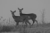 Morning Does (flareiam) Tags: maine deer whitetail doe does nature black white bw animal