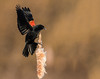 A Perfect Landing (Brian_Harris_Photography) Tags: red winged blackbird marsh mating season migration black brown swamp male nikon nikkor nature wildlife bird portrait park prime natural national tree exposure yellow pennsylvania pond adult sunlight sunshine