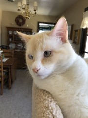 This is Buddy (Chuckcars) Tags: animal male mixture buddy cat