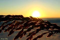 Setting Sun (moniquef123) Tags: sunset orange yellow beach grass nature landscape summer sky weather weatherphotography setting