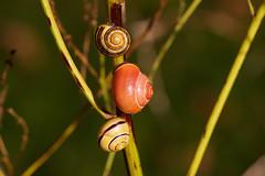 Der Frühling kommt im Schneckentempo //                                                                                                                          Springs is coming at a snai'ls pacel (Zoom58.9) Tags: schnecken schnecke gras gräser stengel pflanze tiere grün europa deutschland niedersachsen canon eos 50d snails snail grass grasses plant animal green europe germany makro macro nahaufnahme close natur nature