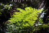 Fern (Stray Toaster) Tags: australia blue mountains leura