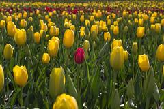 Out of the comfort zone (Maria Echaniz) Tags: tulipfestivalwoodburn tulips flower flowers yellow red spring oregon woodburn field nature naturaleza primavera tulipanes green usa woodenshoetulipfarm