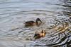Ducks in the River (Vegan Butterfly) Tags: whitemud ravine nature reserve edmonton alberta animal animals bird birds ducks duck water creek swim swimming