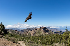 Eagle over mountains (folkeman) Tags: mountain bird birdofprey eagle