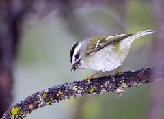 Mr. Elusive (Omnitrigger) Tags: goldencrownedkinglet nature wildlife yosemite food kinglet