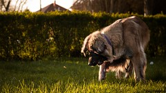 May bugging (zola.kovacsh) Tags: outdoor animal pet dog leonberger park sun sundown grass meadow may bug cockchafer