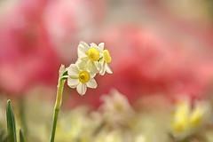 Quest for Sunshine (lfeng1014) Tags: questforsunshine daffodil flowermacro flower springgarden centennialparkconservatory toronto macro macrophotography canon5dmarkiii ef100mmf28lmacroisusm dof depthoffield closeup bokeh