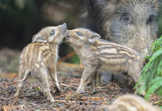 Wild Boar Humbug Sus scrofa 018-1