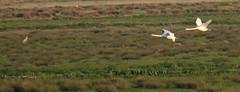 2 pairs! (Robin M Morrison) Tags: mute swans cranes crane somerset levels