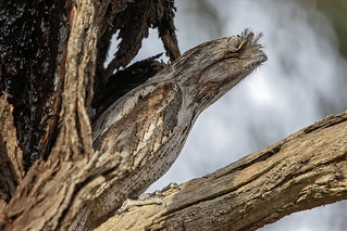 Tawny Frogmouth 2018-04-13 (7D_182A5704)