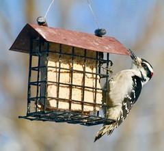 Male Hairy Woodpecker (REGOR NOTPUL) Tags: male hairy woodpecker glenburnie ontario