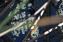 a lmn lemna minor DSC_0055 (eustatic) Tags: basa wildlife grn lmn