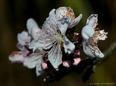 It's amazing how grandparents seem so young.... (itucker, thanks for 4+ million views!) Tags: prunus peach blossom peachblossom macro bokeh bonfire raulstonarboretum