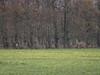 ree / roe deer (nature photography by 3620ronny.be) Tags: 2018 zoogdier belgie maasvallei grensmaas dieren panasoniclumixdmcgx8 zoogdieren ree herbricht outdoor takken bos velden animal veld tak weilanden reebok bomen limburg natuurfotografie gras maas www3620ronnybe panasoniclumixdg100400mmf463asphpowerois animals roedeer naturephotography belgium maaskant