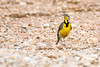 Meadowlark in Prairie Dog Town - Lubbock (LilTexican) Tags: lifelist