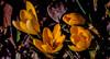 Orange is the new White (evakongshavn) Tags: crocus flora flower flowers tinytreasures treasure treasures tinytreasuresinflora new light orange yellow green blahblah blahblahscape wordsofwisdom words carpediem enjoy enjoyingthemoment seizethemoment