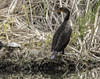 024693763263-97-Double-crested Cormorant-2 (Jim There's things half in shadow and in light) Tags: 2018 canon5dmarkiv floydlambpark lasvegas march nevadastatepark tamronsp150600mmf563divcusdg2 animals bird wildlife pond lake water grass doublecrestedcormorant turtle