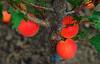 Delicious... (petrapetruta) Tags: fruits summer orange peaches colored catchy