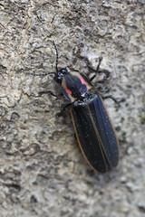 firefly (myriorama) Tags: firefly beetle polyphaga elateriformia elateroidea lampyridae lampyrinae cratomorphini pyractomena pyractomenaborealis beech