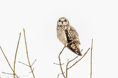 Short-eared owl-5868.jpg (oregondew) Tags: asioflammeus shortearedowl diamondhilldr