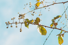 thorny branches (annapolis_rose) Tags: vancouver sky bramble vine branches thorns