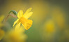 Daffodils (Dhina A) Tags: sony a7rii ilce7rm2 a7r2 jupiter 135mm f35 jupiter37a135mmf35 12blades 37a prime m42 jupiter37a