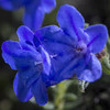 True Blue (San Francisco Gal) Tags: boraginaceae lithodora lithodoradiffuse flower fleur bloom blossom blue macro macromondays theblues