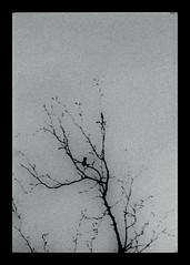 * (PattyK.) Tags: ioannina giannena giannina epirus ipiros balkans hellas ellada greece grecia griechenland mycity whereilive march 2018 spring snapseed amateurphotographer ιωάννινα γιάννενα ήπειροσ βαλκάνια ελλάδα ηπόλημου όμορφηπόλη άνοιξη μάρτιοσ λίμνη παμβώτιδα λίμνηπαμβώτιδα λίμνηιωαννίνων παραλίμνιο μώλοσ δίπλαστηλίμνη lake pamvotida lakepamvotida ioanninalake lakeside lakefront waterfront bythelake άσπροκαιμαύρο monochrome blackandwhite nikond3100 tree branch