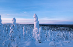 Snowy trees (Mathieu Pierre) Tags: lights lapland canon 7dmark2 7dmarkii sigma14mmf18 sunset trees winter nature frost arctic hill finland nuit night sky snowytrees ciel neige arbre animal paysage
