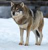 Ähtäri Zoo, Finland (Ninara) Tags: wolf ähtäri ähtärizoo winter wildanimal animal susi zoo talvi