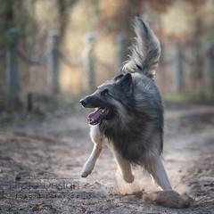 change in direction (Hans Zitzler) Tags: belgianshepherd dog fun play fast oscar tervueren