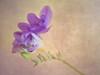 Freesia (Karsten Gieselmann) Tags: 60mmf28 blumen blüten dof em5markii focusstacking freesia freesie grün lila mzuiko microfourthirds natur olympus pflanzen schärfentiefe textur blossom flower green kgiesel m43 mft nature purple texture violett burglengenfeld bayern deutschland hss happysliderssunday