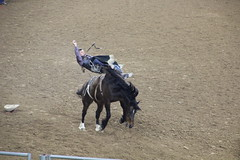IMG_2258 (melodavis@sbcglobal.net) Tags: rodeohouston 2018 rodeo livestock heifer farmlife steer saddlebronc bronc bull bullriding calfscramble alpaca