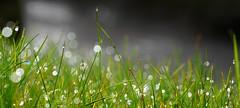 More jewels (SteveJM2009) Tags: water droplets sunlight sun light grass shine glitter bokeh helland cornwall uk march 2018 stevemaskell flare